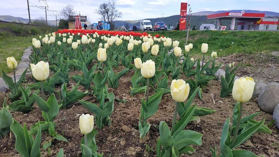 Маленький Амстердам: Під Ужгородом розквітло тюльпанове поле (ФОТО, ВІДЕО) , фото-13