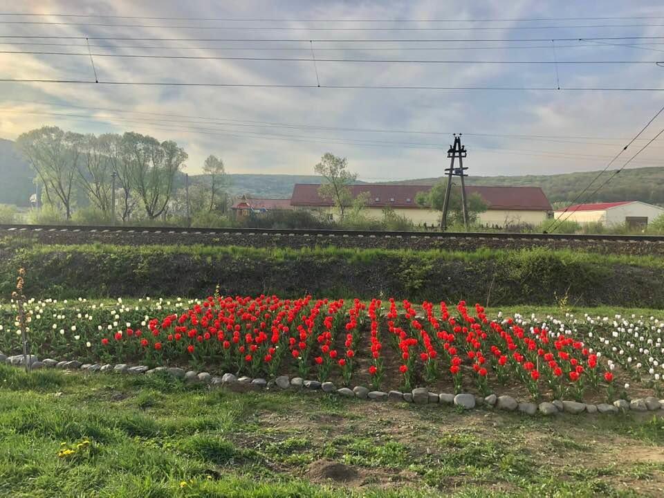 Маленький Амстердам: Під Ужгородом розквітло тюльпанове поле (ФОТО, ВІДЕО) , фото-9