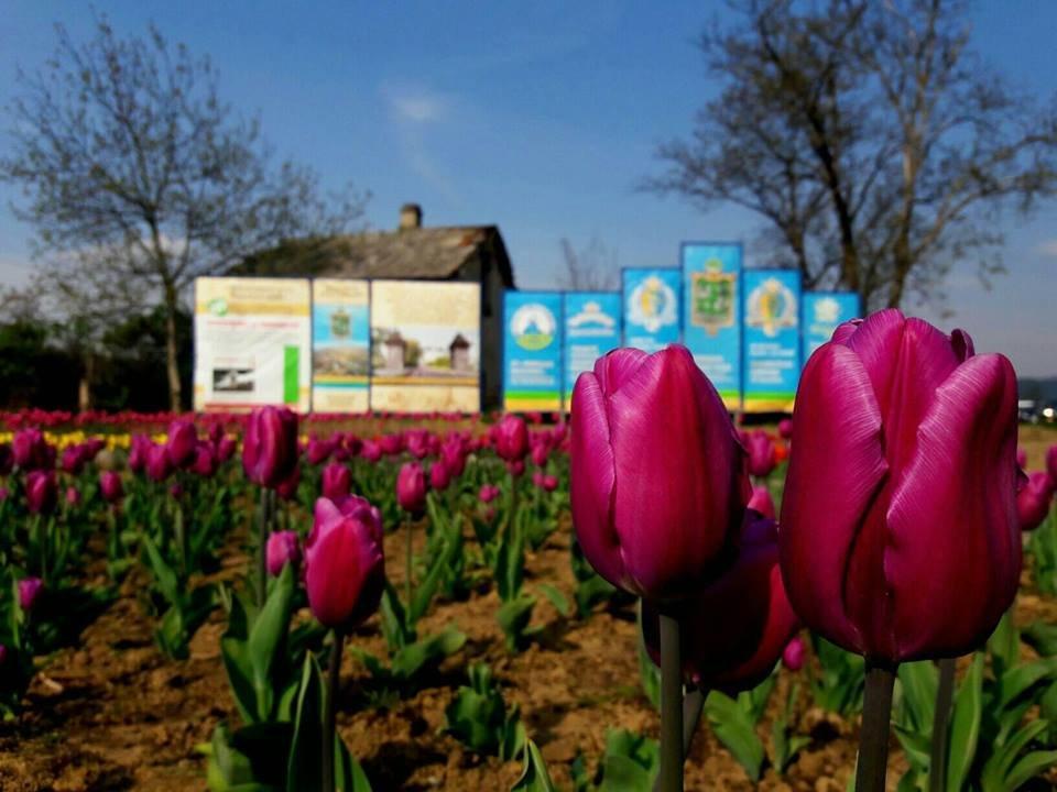 Маленький Амстердам: Під Ужгородом розквітло тюльпанове поле (ФОТО, ВІДЕО) , фото-6
