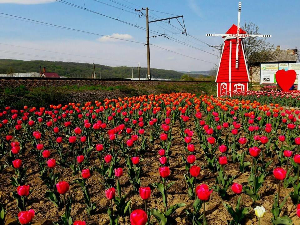 Маленький Амстердам: Під Ужгородом розквітло тюльпанове поле (ФОТО, ВІДЕО) , фото-7