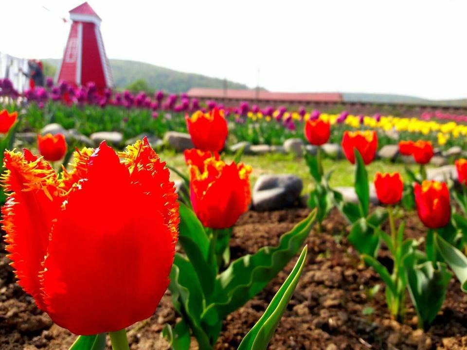 Маленький Амстердам: Під Ужгородом розквітло тюльпанове поле (ФОТО, ВІДЕО) , фото-5