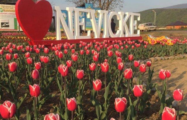 Маленький Амстердам: Під Ужгородом розквітло тюльпанове поле (ФОТО, ВІДЕО) , фото-1