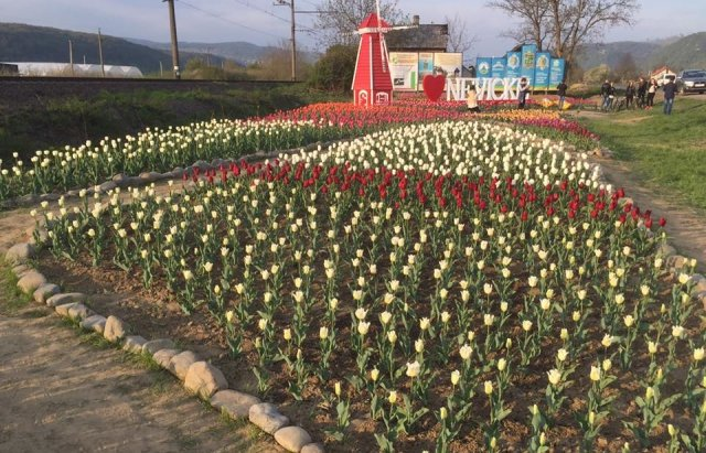 Маленький Амстердам: Під Ужгородом розквітло тюльпанове поле (ФОТО, ВІДЕО) , фото-2