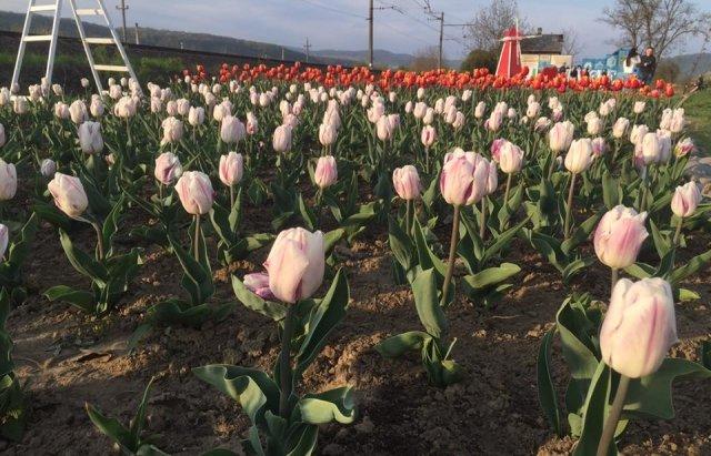 Маленький Амстердам: Під Ужгородом розквітло тюльпанове поле (ФОТО, ВІДЕО) , фото-3