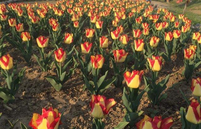 Маленький Амстердам: Під Ужгородом розквітло тюльпанове поле (ФОТО, ВІДЕО) , фото-4