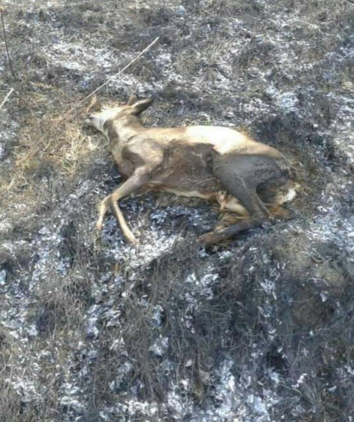 Вбивчий вогонь: рятувальники Закарпаття показали тварин, які загинули від пожеж сухостою (ФОТО18+), фото-4