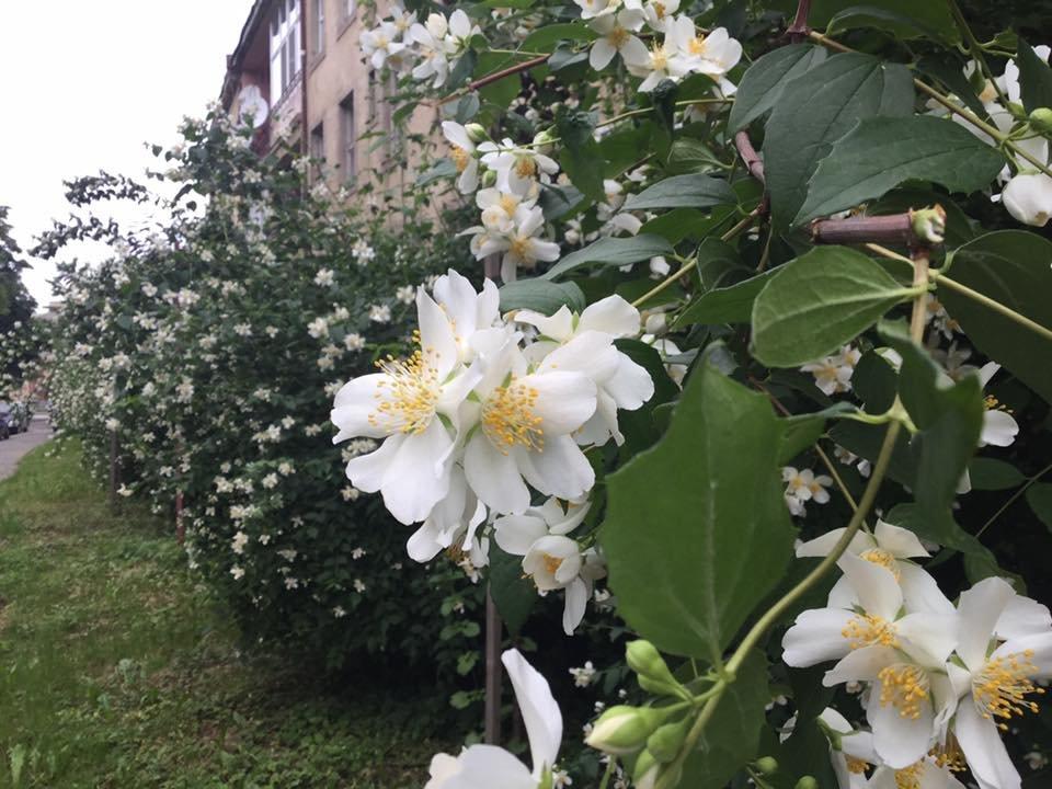 В Ужгороді квітне жасминова алея (ФОТО) , фото-2