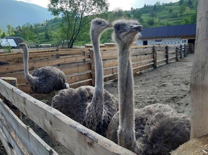 """На Закарпатті недалеко від озера """"Синевир"""" відкрилась страусина ферма (ФОТО), фото-4"""