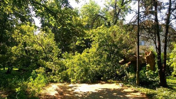 В ужгородському парку впало велике дерево, обірвавши електричний провід (ФОТО), фото-1