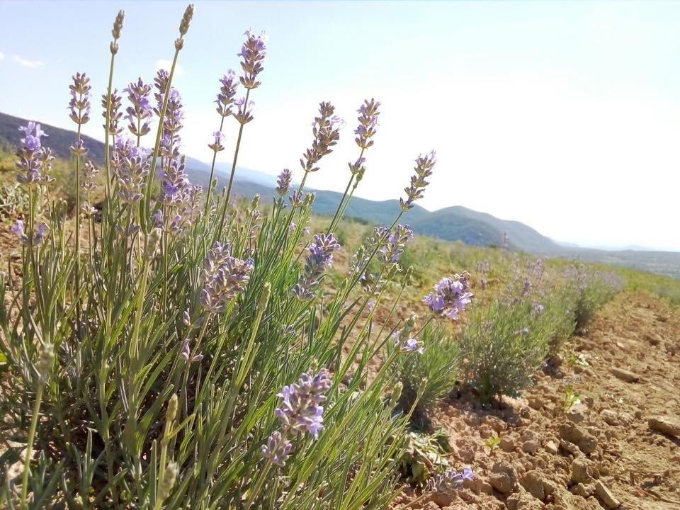 На Закарпатті заквітла Лавандова гора (ФОТОФАКТ), фото-1