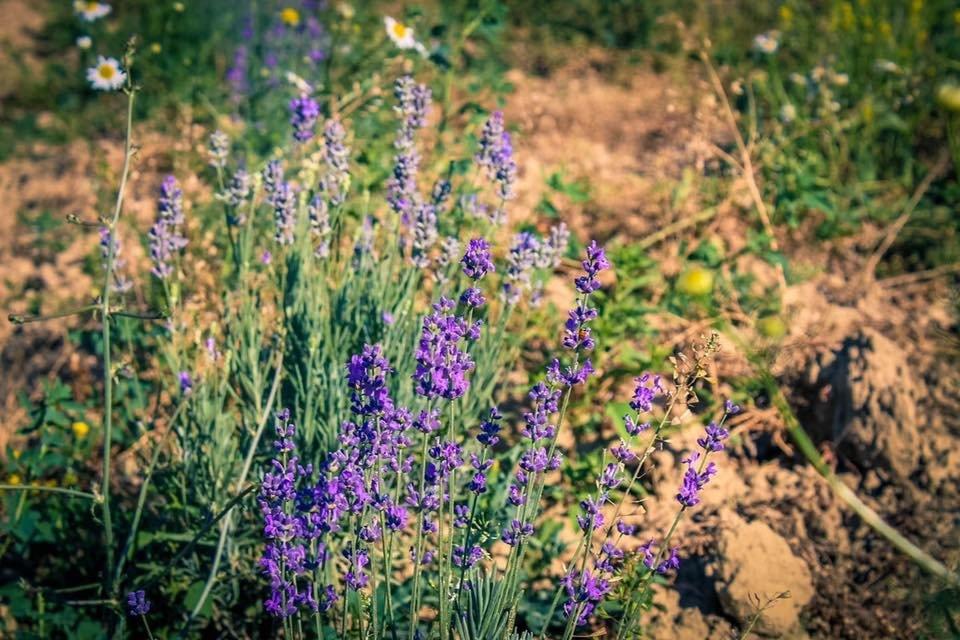 На Закарпатті заквітла Лавандова гора (ФОТОФАКТ), фото-8
