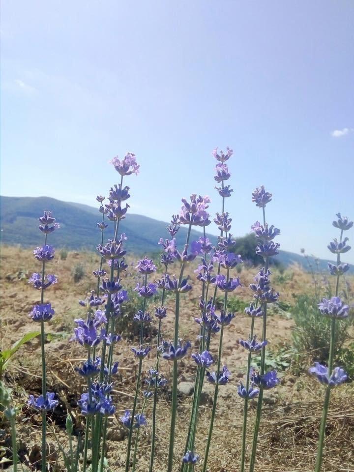 На Закарпатті заквітла Лавандова гора (ФОТОФАКТ), фото-4