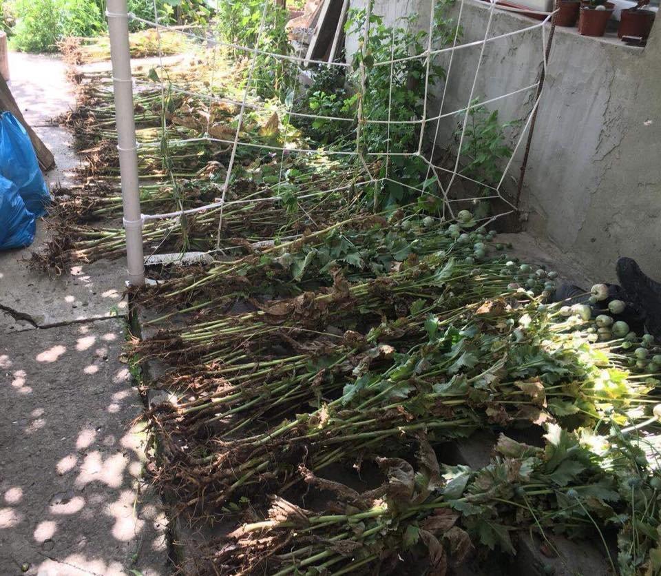 Ужгородку підозрюють у вирощуванні понад 200 стебел снотворного маку в Перечині (ФОТО), фото-1