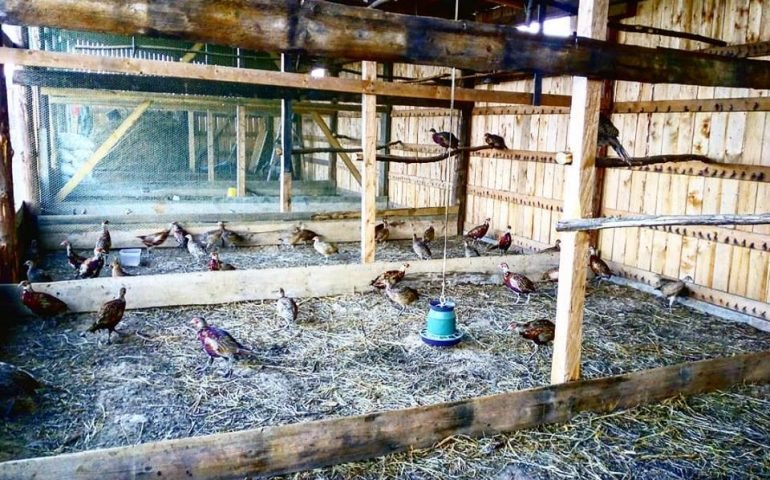 Ідея на вихідні: на Закарпатті знаходиться фазанарій із екзотичними птахами (ФОТО), фото-1