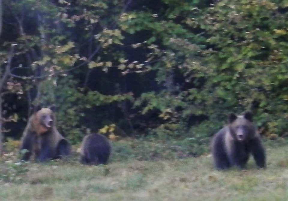 Несподівана зустріч: закарпатець в Ужанському парку зустрів ведмедицю з малюками (ФОТО), фото-1