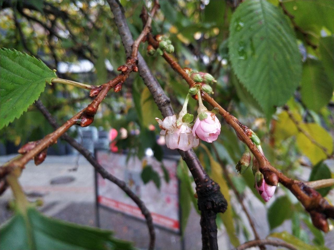 Закарпатська скажена сакура знову порадувала цвітінням (ФОТОФАКТ), фото-4