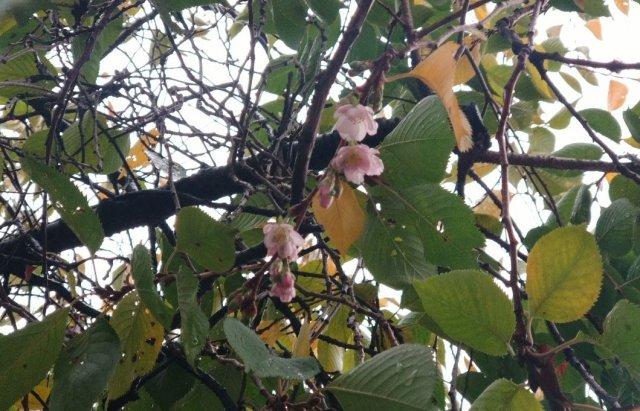 Закарпатська скажена сакура знову порадувала цвітінням (ФОТОФАКТ), фото-5