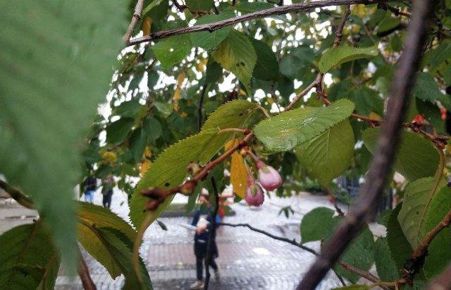 Закарпатська скажена сакура знову порадувала цвітінням (ФОТОФАКТ), фото-3