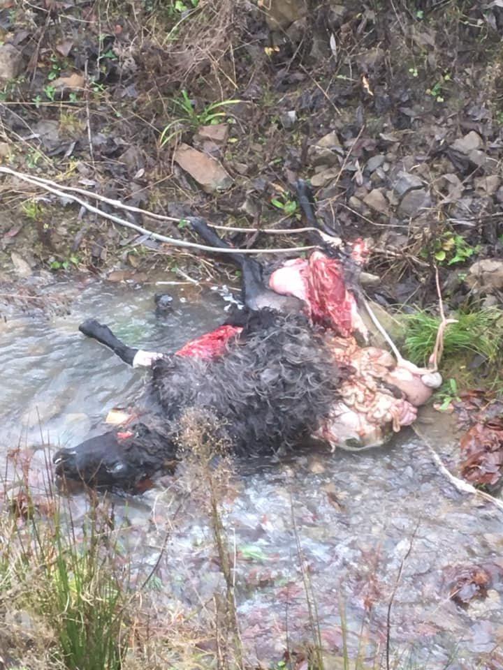Загризли: У закарпатському селі вовки дістались до овець (ФОТО 18+), фото-2