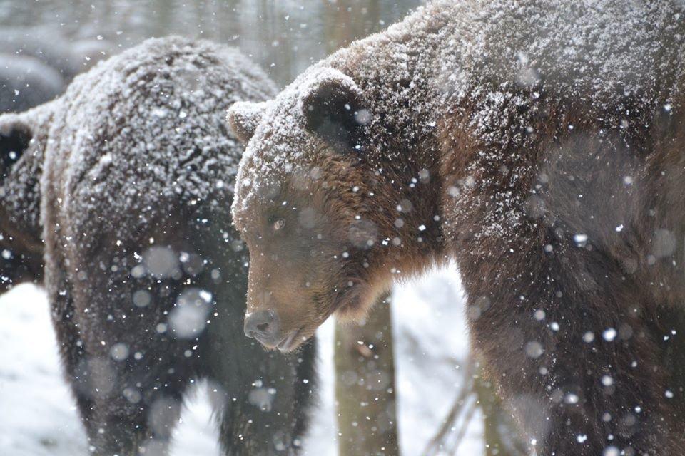 Ведмеді у реабілітаційному центрі на Синевирі поки не сплять (ФОТО) , фото-4