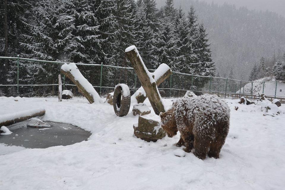 Ведмеді у реабілітаційному центрі на Синевирі поки не сплять (ФОТО) , фото-1
