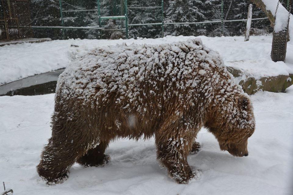 Ведмеді у реабілітаційному центрі на Синевирі поки не сплять (ФОТО) , фото-2