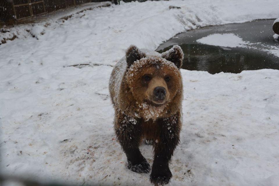 Ведмеді у реабілітаційному центрі на Синевирі поки не сплять (ФОТО) , фото-3