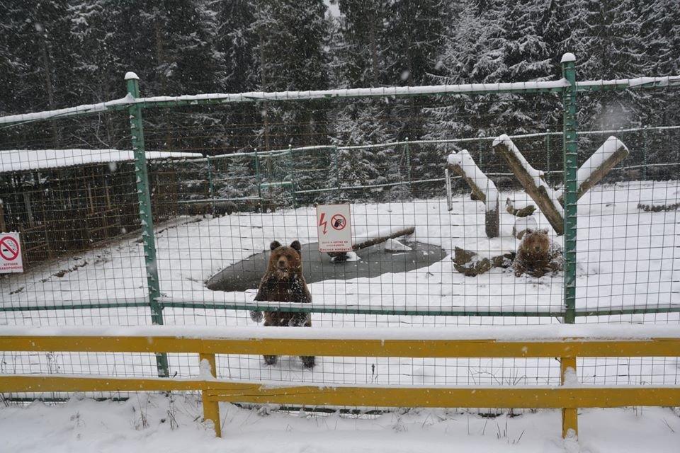 У центрі реабілітації на Синевирі заснули тільки троє ведмедів із понад 30 (ФОТО), фото-1