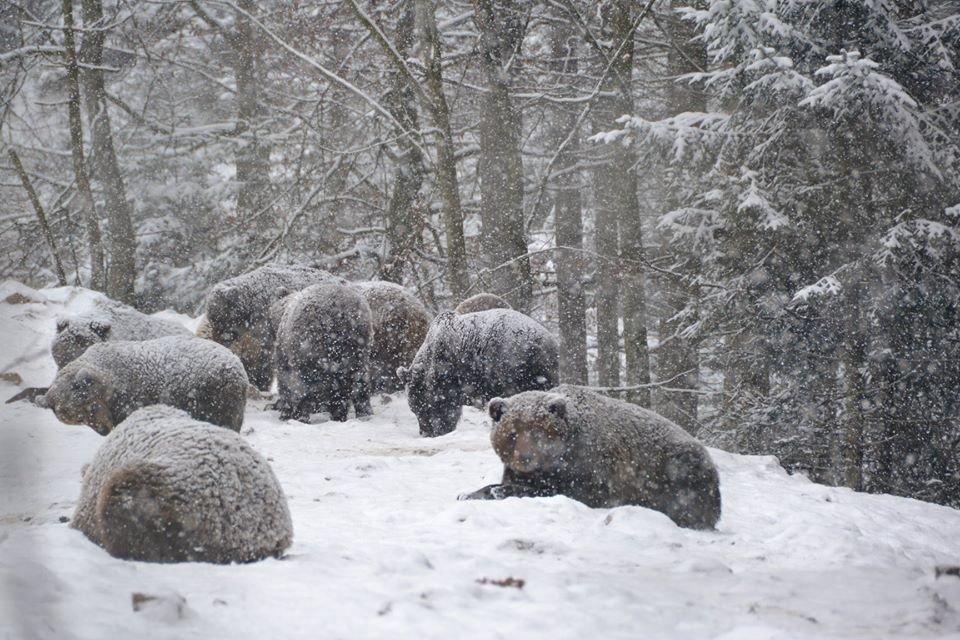 У центрі реабілітації на Синевирі заснули тільки троє ведмедів із понад 30 (ФОТО), фото-2
