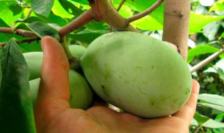 Закарпатець на своєму городі вирощує екзотичну рослину - азіміну (ФОТО), фото-2
