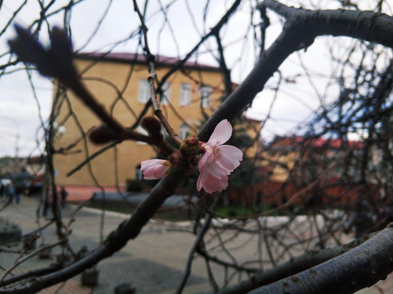 """Закарпатська """"скажена"""" сакура зустрічатиме Новий рік  із цвітом (ФОТОФАКТ), фото-1"""