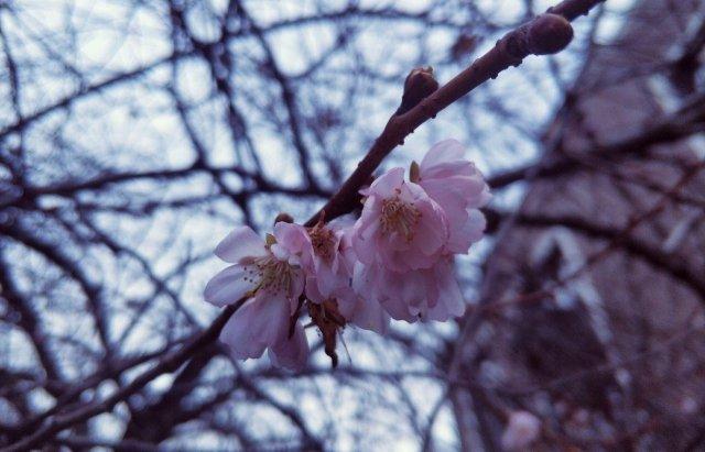 """Закарпатська """"скажена"""" сакура зустрічатиме Новий рік  із цвітом (ФОТОФАКТ), фото-2"""