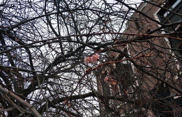 """Закарпатська """"скажена"""" сакура зустрічатиме Новий рік  із цвітом (ФОТОФАКТ), фото-3"""