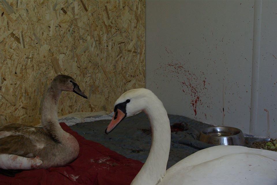Трагічний Новий рік: через масові феєрверки у Празі постраждали лебеді (ФОТО18+, ВІДЕО), фото-5