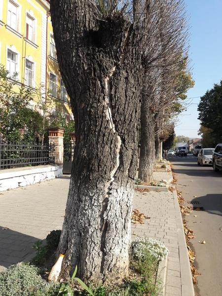 """В Ужгороді під знищення підпали дерева, які висохли після """"кронування"""" кілька років тому (ФОТО), фото-3"""