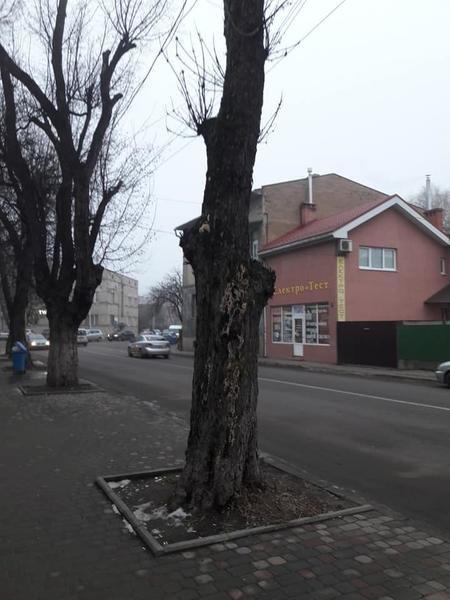 """В Ужгороді під знищення підпали дерева, які висохли після """"кронування"""" кілька років тому (ФОТО), фото-1"""