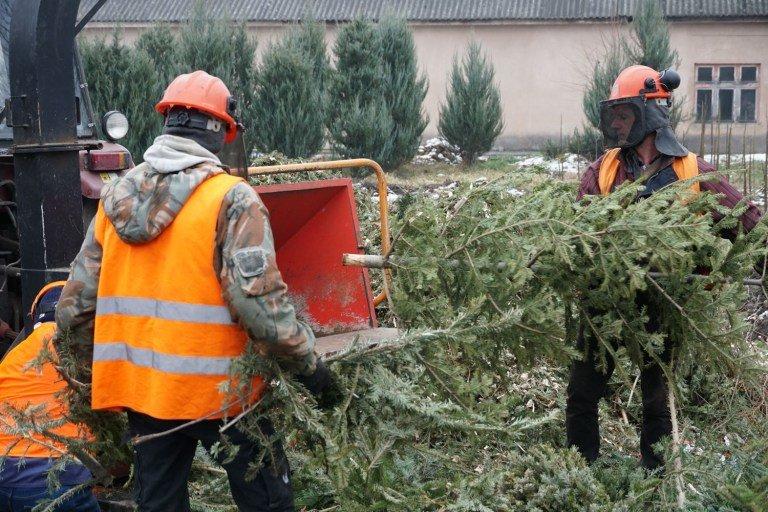 Ужгородські новорічні ялинки зі смітників стануть у нагоді: із них зроблять щепу (ФОТО), фото-1
