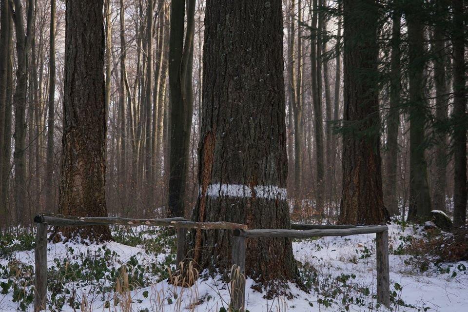 Лісівники розповіли про плантацію 112-річної дугласії, що росте на Ужгородщині (ФОТО), фото-1