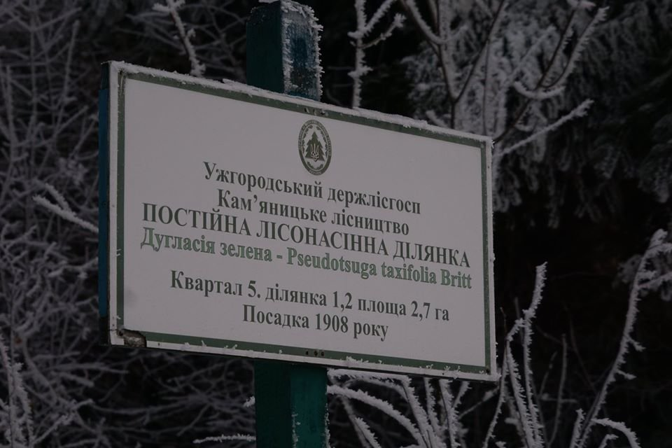Лісівники розповіли про плантацію 112-річної дугласії, що росте на Ужгородщині (ФОТО), фото-7