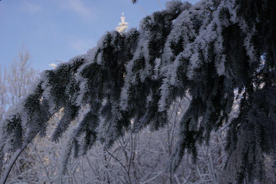 Лісівники розповіли про плантацію 112-річної дугласії, що росте на Ужгородщині (ФОТО), фото-3