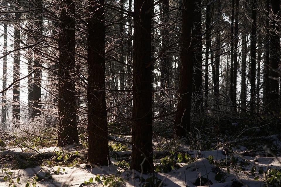 Лісівники розповіли про плантацію 112-річної дугласії, що росте на Ужгородщині (ФОТО), фото-2