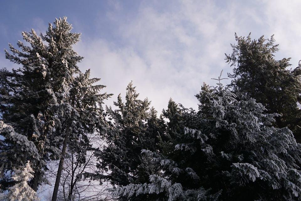 Лісівники розповіли про плантацію 112-річної дугласії, що росте на Ужгородщині (ФОТО), фото-5