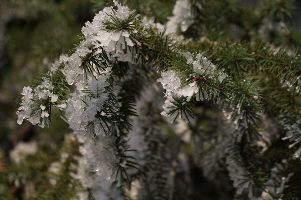 Лісівники розповіли про плантацію 112-річної дугласії, що росте на Ужгородщині (ФОТО), фото-6