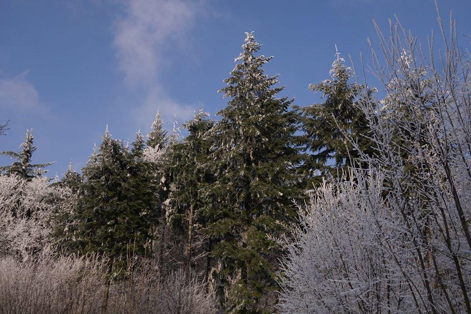 Лісівники розповіли про плантацію 112-річної дугласії, що росте на Ужгородщині (ФОТО), фото-4