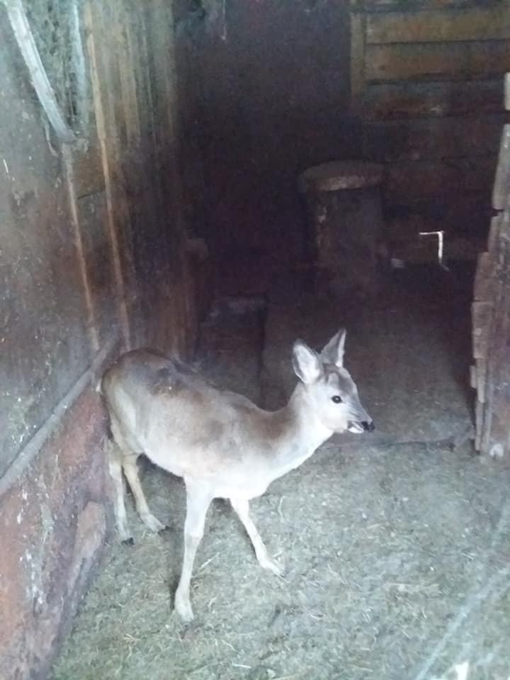 Закарпатці врятували виснажену косулю, яка ймовірно втекла від вовків (ФОТО), фото-3