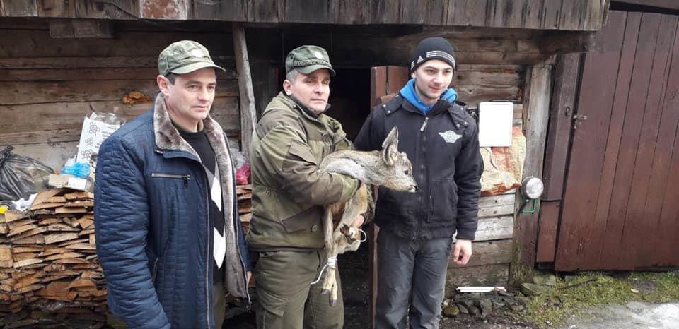 Закарпатці врятували виснажену косулю, яка ймовірно втекла від вовків (ФОТО), фото-2