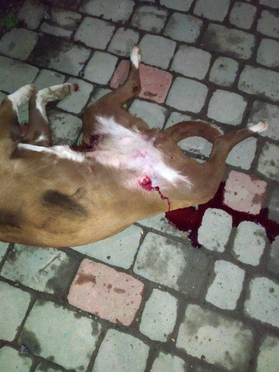 У поліції спростували інформацію про розстріл собаки в Ужгороді (ФОТО18+), фото-2