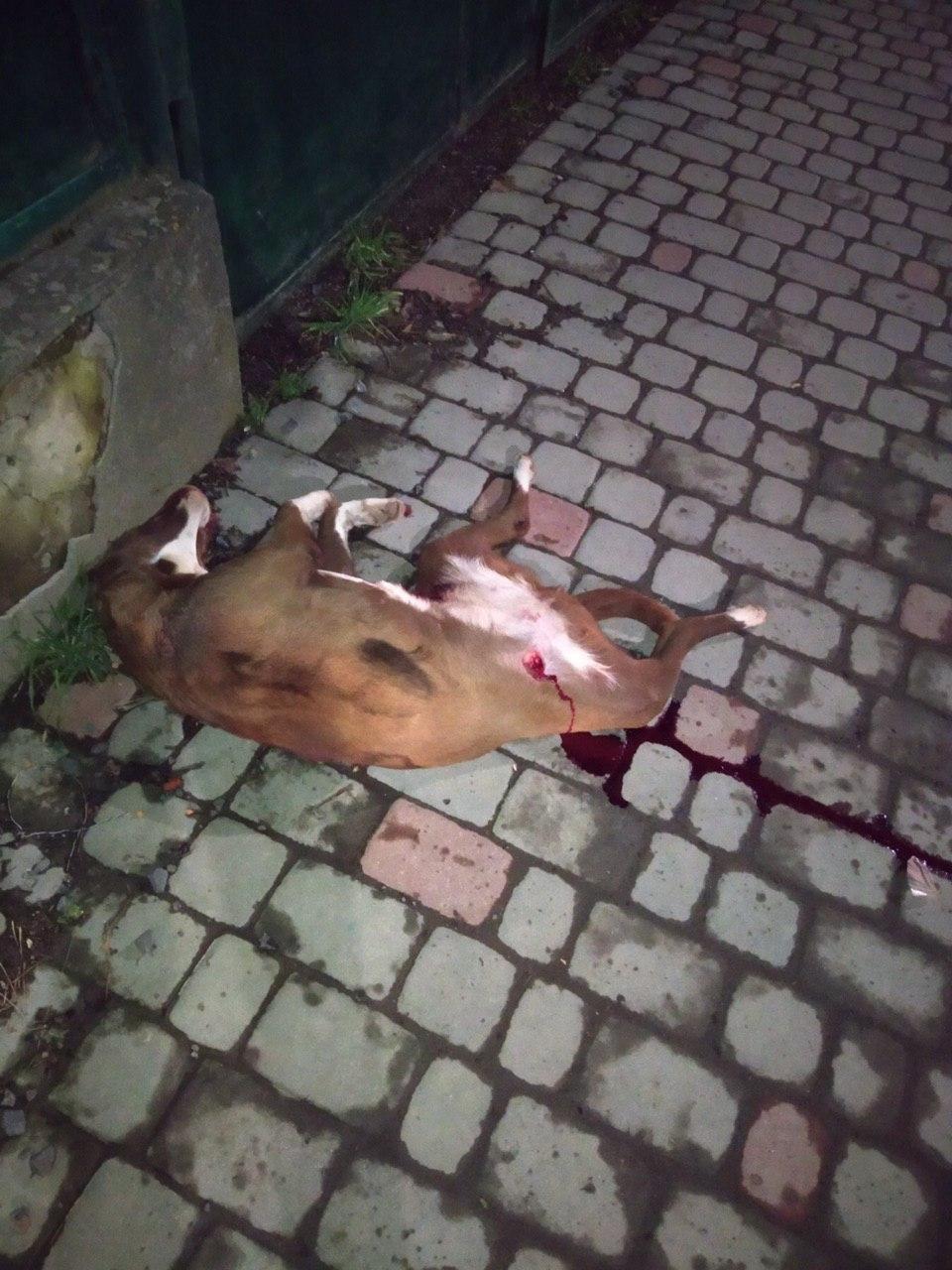 У поліції спростували інформацію про розстріл собаки в Ужгороді (ФОТО18+), фото-1