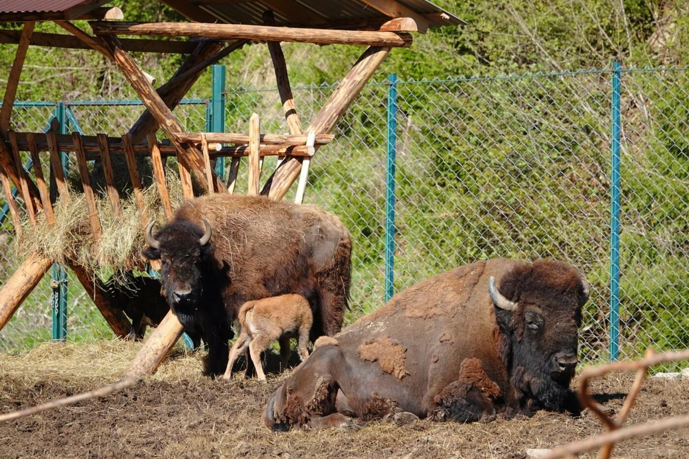 """""""Бебі Бум"""" старутвав: На Закарпатті в еко-парку  народилось теля бізона (ФОТО), фото-2"""
