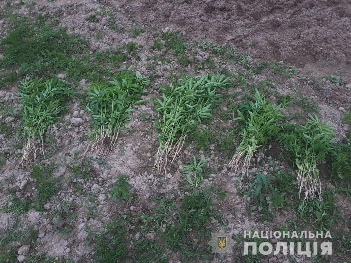 Закарпатець незаконно виростив на своїй ділянці 3 гектари коноплі (ФОТО), фото-2